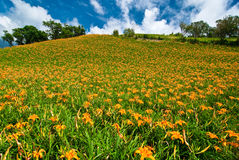 Daylily field in the mountain Stock Photos