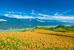 Daylily field in the mountain Royalty Free Stock Photography