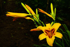 Daylily flower. Daylily flower yellow orange colour on a black background royalty free stock photos