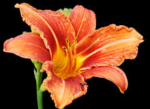 Daylily flower royalty free stock photography