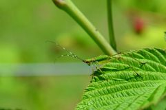 Katydid, Grasshopper, Scudderia furcata insect, bug in the wild Stock Photo