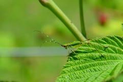 Katydid, Grasshopper, Scudderia furcata insect, bug in the wild Stock Photo