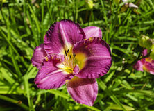 Daylily Flower Close-up. Stock Images