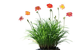 Daylily Flower Plant. Isolated on white background Royalty Free Stock Photography