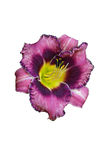 Daylily flower purple and yellow. Isolated Royalty Free Stock Images