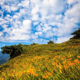 Daylily flower at sixty Stone Mountain in Taiwan Hualien festival Stock Images