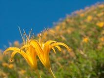 Daylily flower at sixty stone mountatin Stock Image