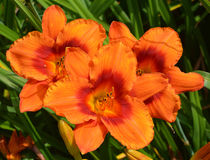 A daylily Stock Images
