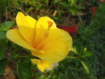 A DAYLILY IS A FLOWERING PLANT IN THE GENUS HEMEROCALLIS royalty free stock images