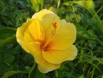 A DAYLILY IS A FLOWERING PLANT IN THE GENUS HEMEROCALLIS stock image