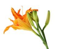 Daylily Flowers. Fresh orange daylily flower isolated on white background Stock Image