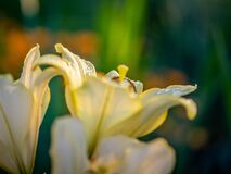 Free Daylily Flowers After Rain On The Plot, Illuminated By The Sun. Stock Photography - 191330162