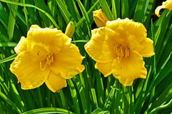 Daylily flowers Stock Images