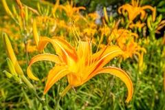 Daylily flowerTawny de sinaasappel bloeit daylily Royalty-vrije Stock Foto's