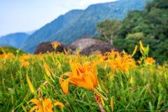 Daylily flowerTawny de sinaasappel bloeit daylily Stock Foto