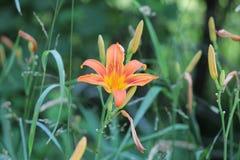 Daylily, fulva anaranjado del Hemerocallis foto de archivo libre de regalías