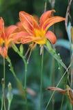 Daylily, fulva anaranjado del Hemerocallis imagen de archivo
