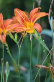 Daylily, fulva orange de Hemerocallis image stock
