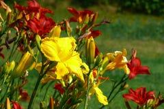 Daylily. Or hemerocallis Stock Image