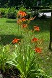 The daylily  (Hemerocallis aurantiaca) Stock Photography