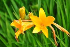 Daylily (Hemerocallis esculenta) obraz stock