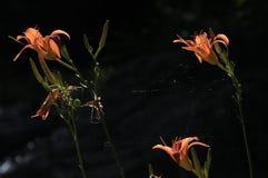 Daylily hermoso Fotos de archivo libres de regalías