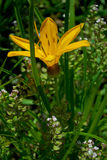 Daylily jaune de fleur Images libres de droits