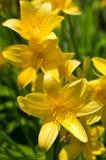 daylily kwiat Fotografia Royalty Free