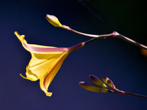 daylily kwiat Zdjęcia Stock