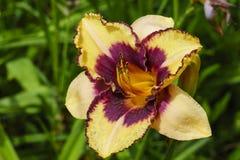 Daylily kwiatu zakończenie Zdjęcie Royalty Free