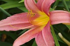 daylily kwiatu zbliżenie obraz royalty free