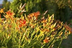 daylily kwiaty Zdjęcia Royalty Free