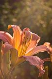 Daylily in latest summer evening light Royalty Free Stock Photos