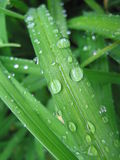 Daylily leaves after a rain. Royalty Free Stock Photos