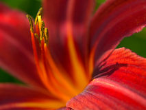 Daylily Macro, dappled light Royalty Free Stock Images