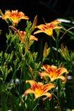 Daylily ` Mauna Loa ` Hemerocallis Royalty-vrije Stock Fotografie