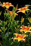 Daylily ` Mauna Loa ` Hemerocallis Royalty-vrije Stock Foto's