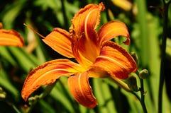 Daylily ` Mauna Loa ` Hemerocallis Royalty-vrije Stock Foto