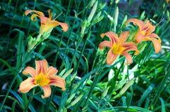 Daylily ` Mauna Loa ` Hemerocallis Royalty-vrije Stock Afbeeldingen