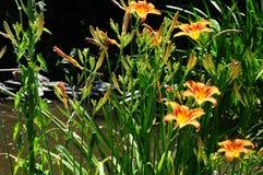 Daylily ` Mauna Loa ` Hemerocallis Royalty-vrije Stock Afbeelding