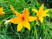 Daylily Middendorf after the rain royalty free stock photos