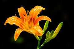 Daylily. The name suggest that this flower will bloom only one day Stock Images
