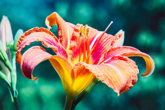 Daylily orange Image libre de droits