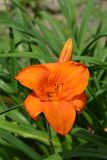 Daylily. Orange flower - Latin name - Hemerocallis Mauna Loa stock image