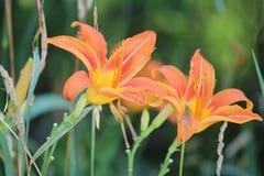 Daylily, Oranje Hemerocallis-fulva royalty-vrije stock foto