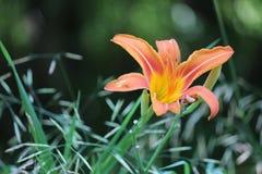 Daylily, Oranje Hemerocallis-fulva stock fotografie