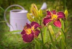 Daylily púrpura con la frontera amarilla acanalada Fotografía de archivo