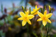 Daylily Pair. A pair of nicely formed yellow daylilies against a pleasingly colorful background. Room for copy space royalty free stock images