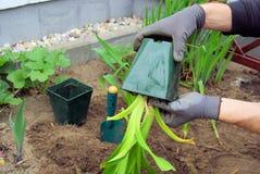 A daylily pflanzen Lizenzfreie Stockfotografie