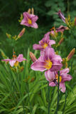 Daylily pourpre Photos stock